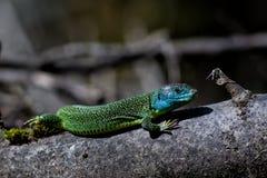 зеленая ящерица западная Стоковое фото RF