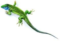 Зеленая ящерица, мужчина Стоковое Изображение RF
