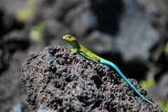 Зеленая ящерица на лаве трясет, национальный парк Conguillio, Чили стоковые изображения