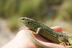 Зеленая ящерица на ладони стоковые изображения