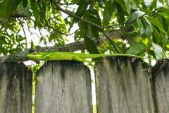 Зеленая ящерица на загородке Стоковое Изображение