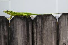 Зеленая ящерица на загородке II Стоковое Фото