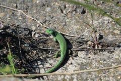 Зеленая ящерица на камне Стоковое фото RF