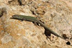 Зеленая ящерица на острове Форментеры, Испании Стоковая Фотография