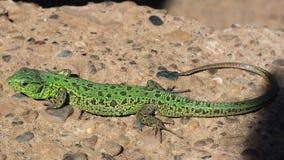 Зеленая ящерица на сером бетоне Стоковые Фото