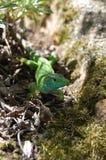 Зеленая ящерица на траве Стоковые Фото