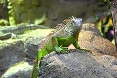 Зеленая ящерица на утесе Стоковые Фото