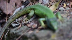 Зеленая ящерица сидит на утесе в макросе леса акции видеоматериалы