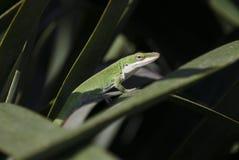 Зеленая ящерица хамелеона Anole Стоковое фото RF