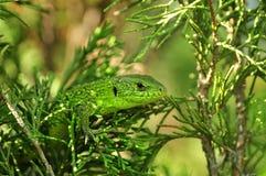 Зеленая ящерица Стоковое Изображение RF