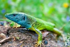 Зеленая ящерица Стоковые Фотографии RF