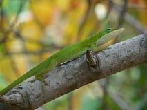 Зеленая ящерица Стоковые Изображения RF