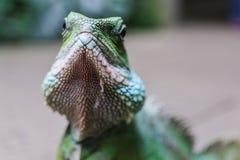 Зеленая ящерица Стоковое Изображение