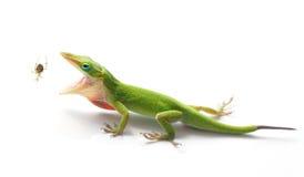 Зеленая ящерица Anole около для еды паука сада Стоковые Фото