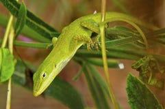 Зеленая ящерица Anole Стоковые Фото