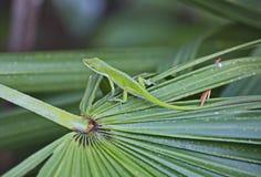 Зеленая ящерица Anole Стоковая Фотография