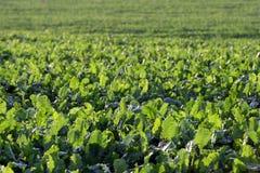 Зеленая choy сумма в росте на саде Свежая зеленая капуста в саде Стоковые Изображения RF