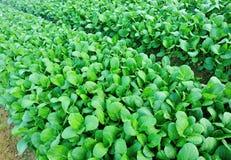 Зеленая choy сумма в росте Стоковая Фотография RF