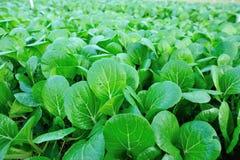 Зеленая choy сумма в росте Стоковые Изображения RF