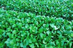 Зеленая choy сумма Стоковые Фотографии RF