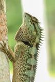 Зеленая forrest ящерица стоковая фотография rf