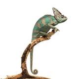 Зеленоватый коричневый хамелеон на ветви Стоковая Фотография