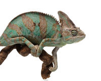 Зеленоватый коричневый хамелеон на ветви Стоковое Фото
