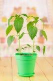 2 зеленого растения перца в баке Стоковая Фотография