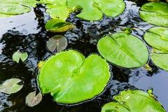 Зеленого цвета пусковая площадка lilly на пруде Стоковое Изображение