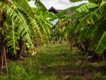 Зеленое банановое дерево. Стоковое Изображение