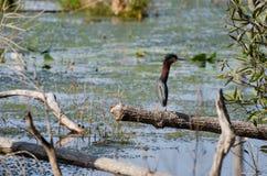 Зеленое болото Okefenokee цапли Стоковая Фотография RF