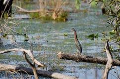 Зеленое болото Okefenokee цапли Стоковая Фотография