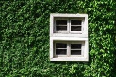 Зеленое взбираясь дерево, стена завода с белым окном Стоковые Фото