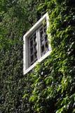 Зеленое взбираясь дерево, стена завода с белым окном Стоковые Изображения