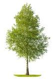 Зеленое дерево березы весны изолированное на белой предпосылке Стоковое Изображение