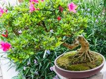 Зеленое дерево бонзаев в саде Стоковые Фото