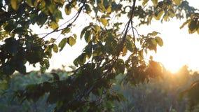 Зеленое дерево выходит двигать дальше солнечную предпосылку неба 4K сток-видео