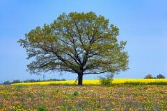 Зеленое дерево в желтом поле на предпосылке голубого неба Стоковые Изображения