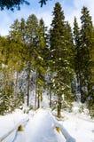 Зеленое дерево на переднем плане Горный вид зимы на зоре стоковые фотографии rf