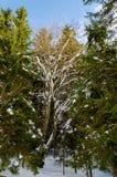 Зеленое дерево на переднем плане Горный вид зимы на зоре стоковое фото rf