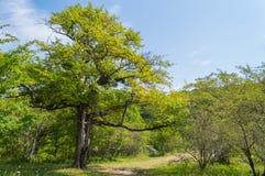 Зеленое дерево стоит около следов Стоковая Фотография RF