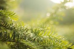 Зеленое дерево с падениями росы Стоковые Изображения RF