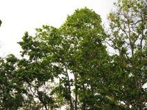 зеленое дерево шали Стоковые Изображения RF