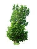 Зеленое дерево Стоковое Фото