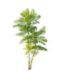 Зеленое дерево Стоковые Изображения