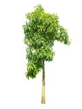 Зеленое дерево Стоковая Фотография RF