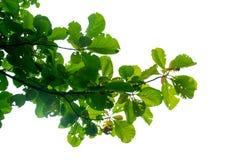 Зеленое дерево Teak лист на изоляте ветвей на белой предпосылке Стоковое Изображение RF