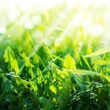 Зеленое лето засевает одуванчик травой Стоковая Фотография