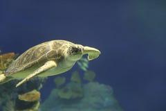 Зеленое заплывание морской черепахи в Гаваи Стоковые Фотографии RF