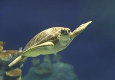 Зеленое заплывание морской черепахи в Гаваи Стоковые Изображения